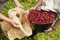 استارباکس در کاستاریکا مزرعهی قهوه میخرد