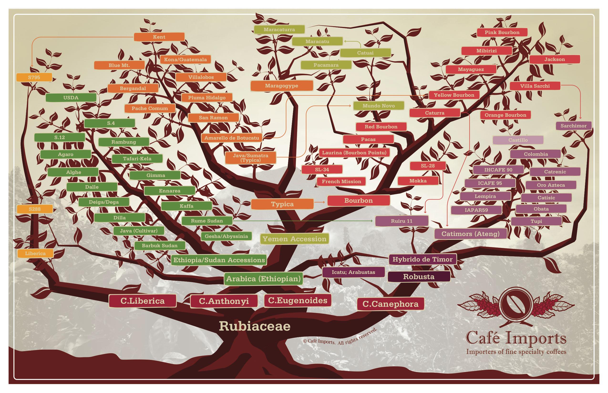 نمودار درختی گونه های قهوه