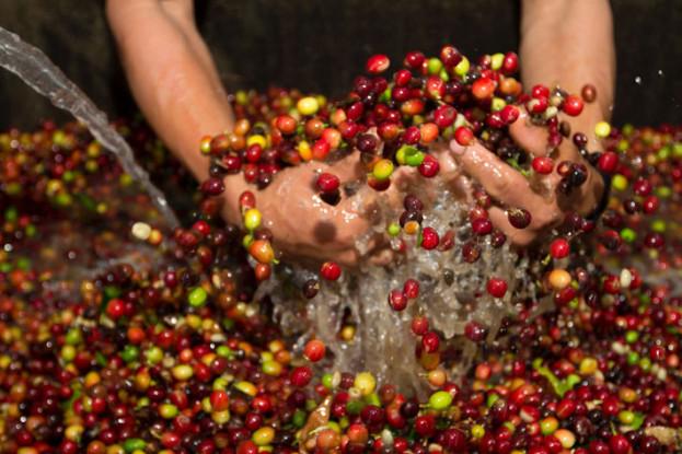 Peru-Coffee-قهوه-پرو