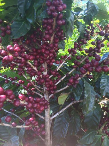 قهوه تک خاستگاه قهوه سینگل اوریجین