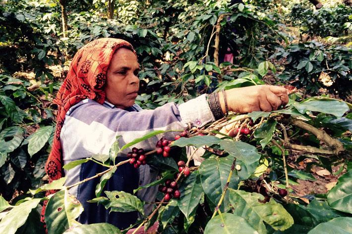 کارگر مزرعه قهوه در هند