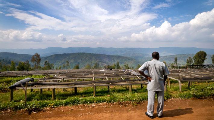 مزرعه قهوه در رواندا