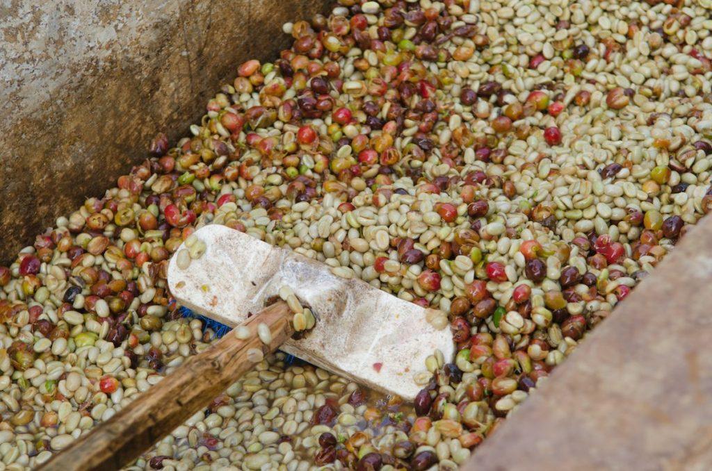 فرآوری قهوه به روش شسته یا خیس