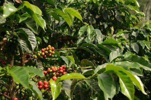 مزرعهی قهوه