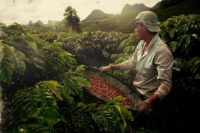 brazilian-coffee-berries-being-harvested.-source-viralgecko.com_
