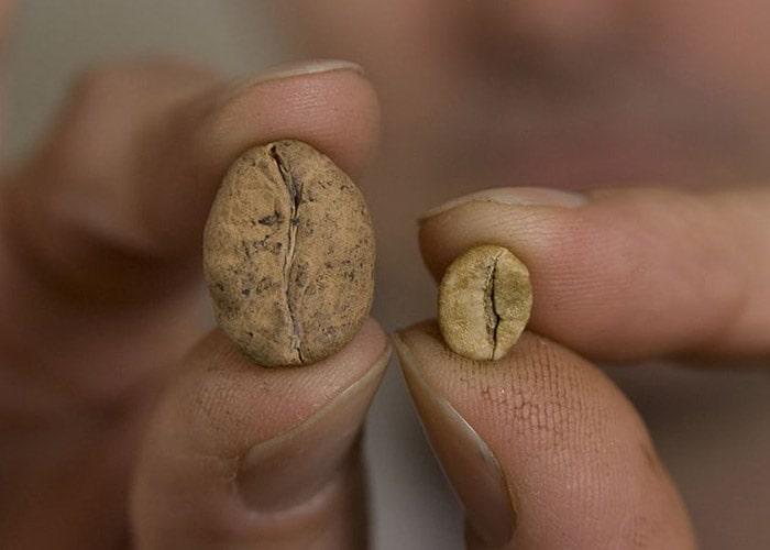 دانههای گونههای تهدیدشدهی عربیکا