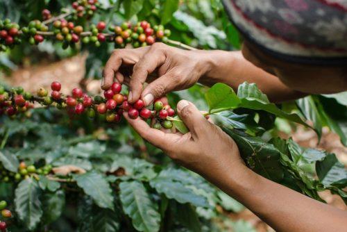 قهوه استرالیا