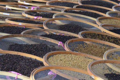 خشک کردن میوه قهوه در مزرعه قهوه داترا در برزیل