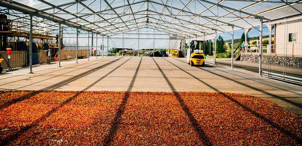 کارگاه فرآوری قهوه در کائو - هاوایی