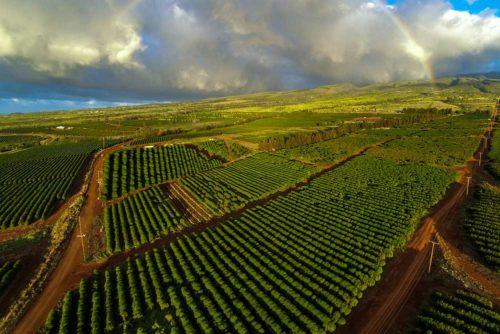 مزارع قهوه در هاوایی آمریکا