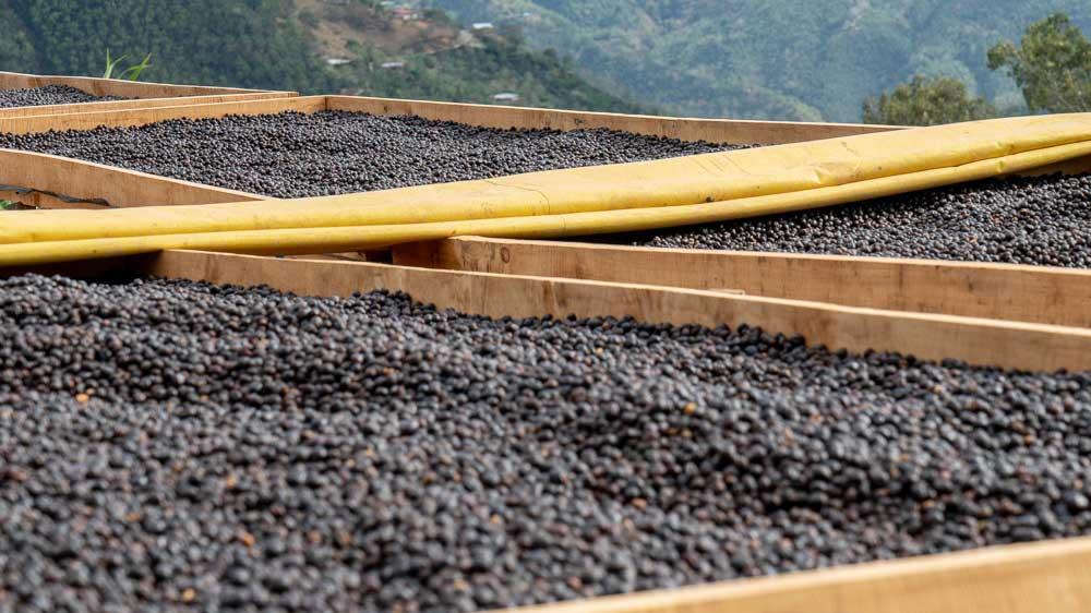فرآوری طبیعی یا خشک قهوه