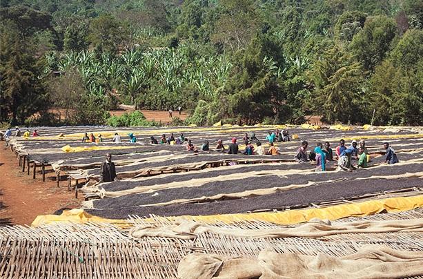 فرآوری خشک قهوه لیبریکا