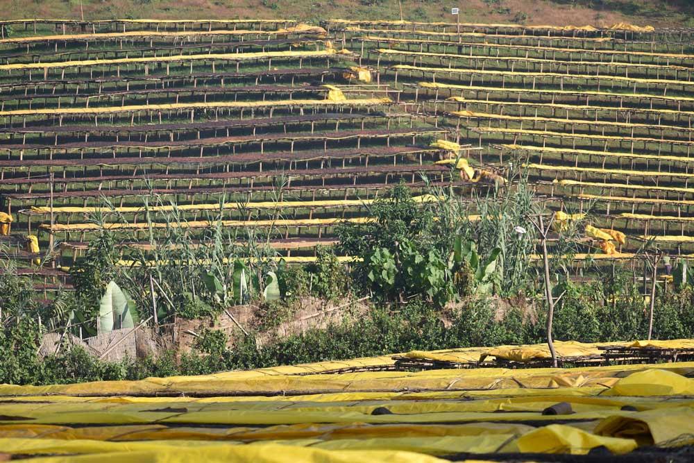 مزرعه قهوه در اتیوپی