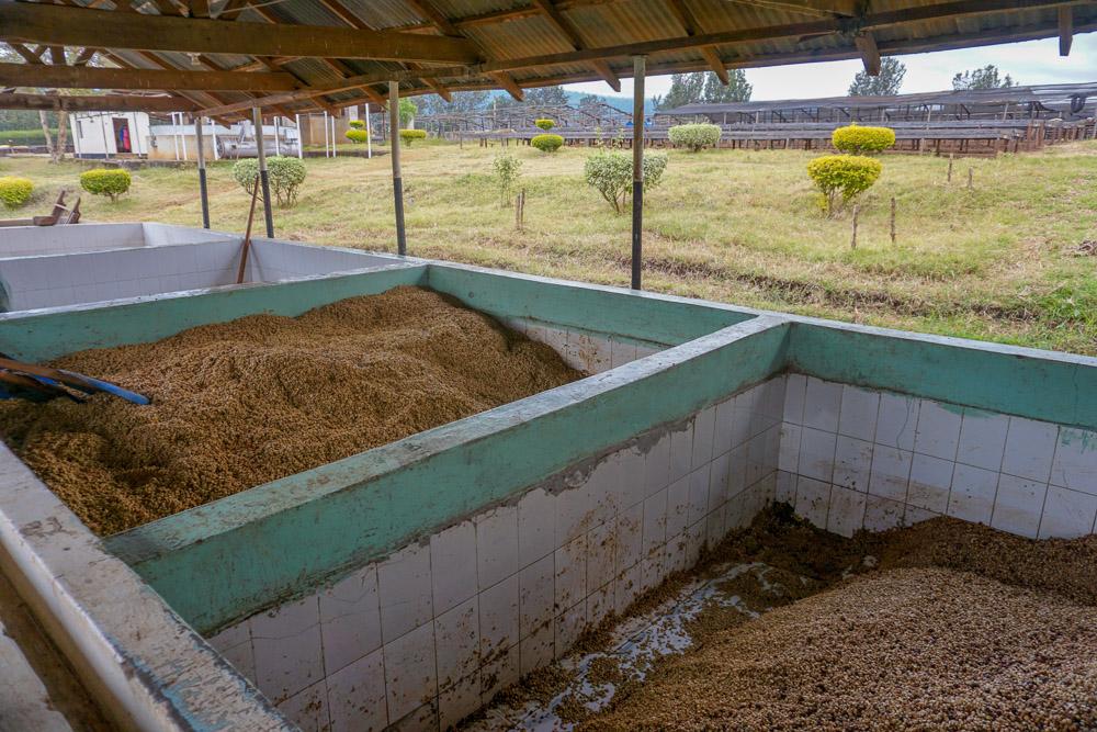 حوضچه تخمیر فرآوری خیس آیکافی قهوه توبک