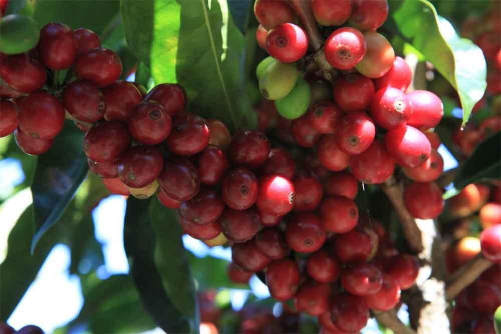 قهوه کاتورا