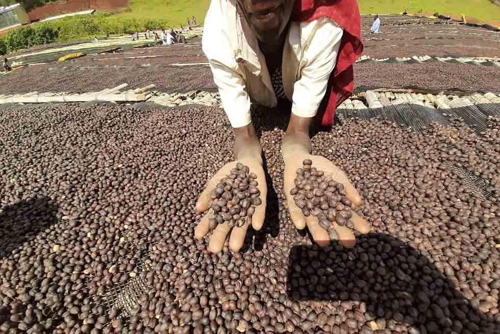 فرآوری خشک قهوه
