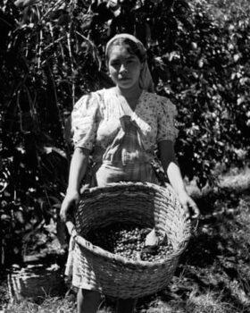 کارگر مزرعه قهوه در السالوادور