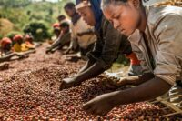 قهوه ساحل عاج | عکس: niels.com
