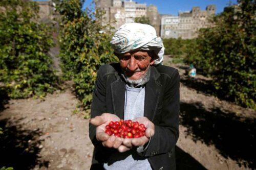 دانههای قهوه عربیکا در یمن