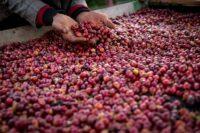 دانههای قهوه زیرگونه جدید یمنیا