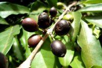 c.-stenophylla-g.-don_ivory-coast©-e.-couturon-ird_web-1024x683