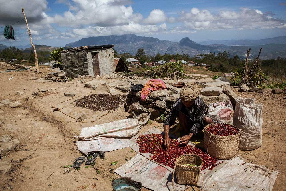 قهوه تیمور شرقی