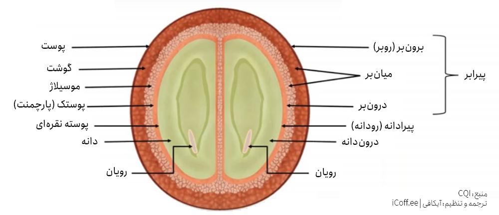 آناتومی دانه قهوه سبز